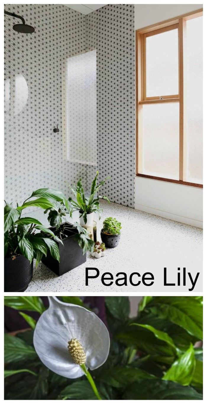 Peace lily in bathroom 28 images 68 best bath remodel for Peace lily in bathroom